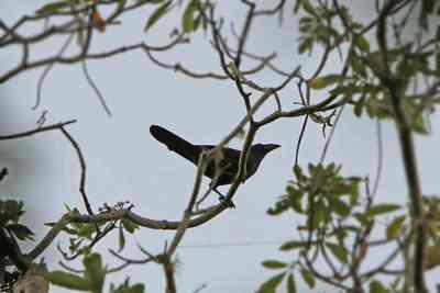 Gagak Flores (Corvus florensis)