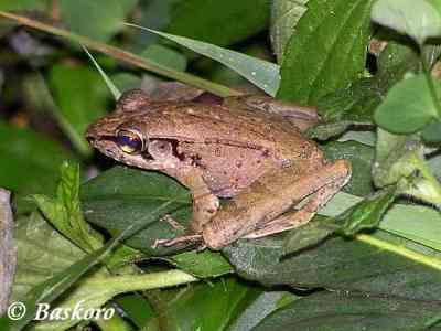 Kongkang Jeram (Huia masonii)
