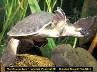 Labi-labi Moncong Babi (Carettochelys insculpta)