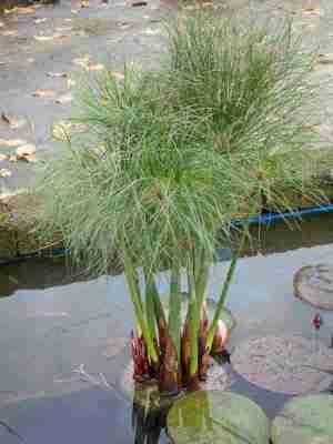 Papirus Air (Cyperus alternifolius)