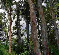 Pohon Sonokeling (Dalbergia latifolia)
