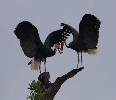 Burung Bangau Storm (Ciconia stormi)