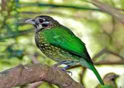 Burung Kucing Tutul (Ailuroedus melanotis)