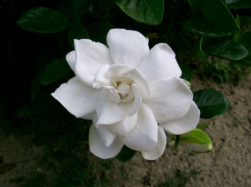 Kacapiring (Gardenia jasminoides)
