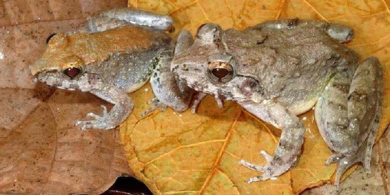 Katak Limnonectes larvaepartus.