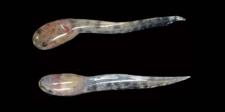 Kecebong Katak Limnonectes larvaepartus