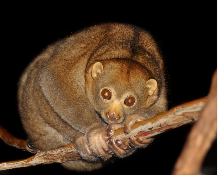 Kukang Sumatera (Nycticebus coucang)