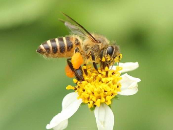 Lebah Madu Apis cerana