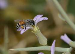 Lebah Madu Apis florea