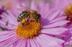 Lebah Madu Apis mellifera 2