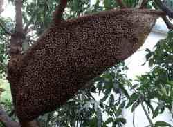 Sarang Lebah Madu Apis dorsata