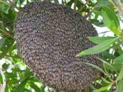 Sarang Lebah Madu Apis florea
