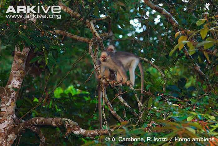 Sumatran Surili Presbytis melalophos mitrata