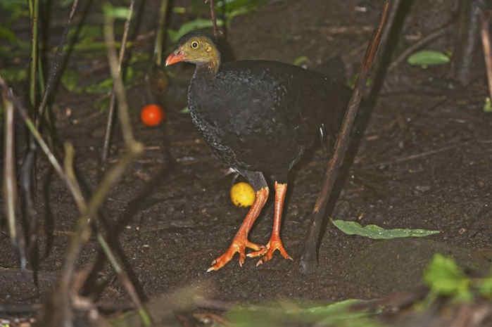 Talegalla cuvieri (Maleo Kamur)