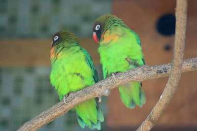 Agapornis nigrigenis (Black-cheeked Lovebird)