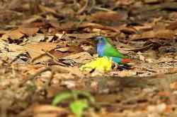 Bondol Hijau Triwarna (Erythrura tricolor)