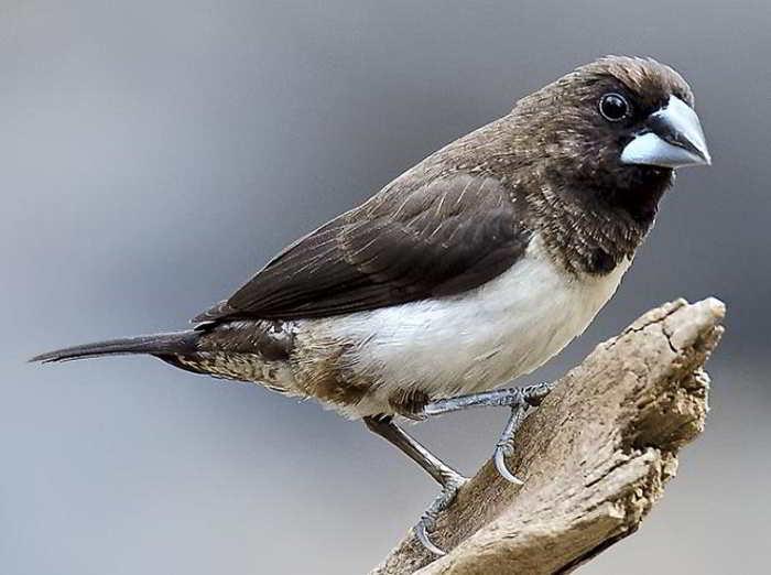 Gambar Burung Pipit, Bondol, dan Gelatik Indonesia ...