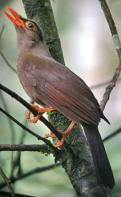 Burung Anis Sulawesi (Cataponera turdoides)