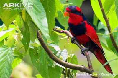 Burung Nuri Talaud (Eos histrio)
