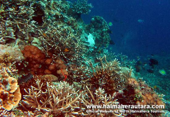 Dive Spot Tagalaya Halmahera