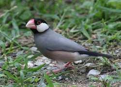 Gelatik Jawa (Lonchura oryzivora)