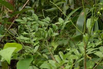 Daun Pohon Jamuju (Dacrycarpus imbricatus)