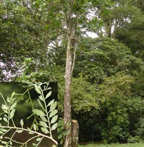 Jamuju (Dacrycarpus imbricatus)
