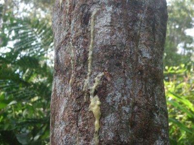 Batang dan Getah Kemenyan Durame (Styrax Benzoine)