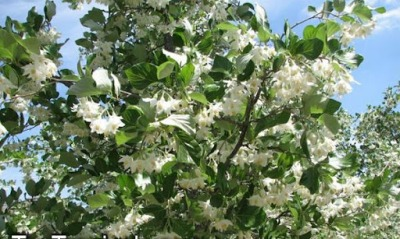 Daun dan Bunga Kemenyan Durame (Styrax Benzoine)