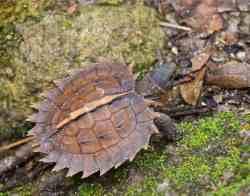 Kura-kura Duri (Heosemys spinosa) kecil