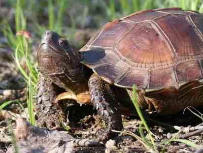 Kura-kura Duri (Heosemys spinosa) dewasa