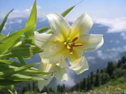 Lilium auratum – Bakung Cahaya Emas Jepang