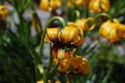 Lilium bosniacum - Bakung Bosnia