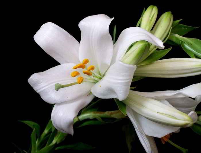 Lilium candidum – Bakung Madonna