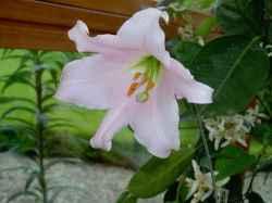Lilium japonicum