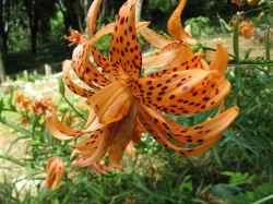 Lilium lancifolium - Bakung Macan
