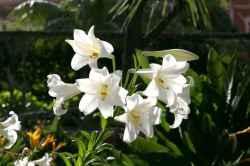 Lilium longiflorum – Bakung Paskah