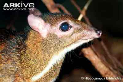Pelanduk Jawa (Tragulus javanicus) Jantan