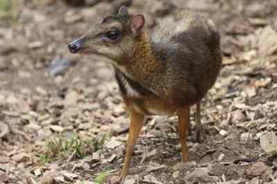 Pelanduk Jawa (Tragulus javanicus)