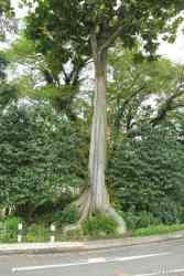 Benda (Artocarpus elasticus)