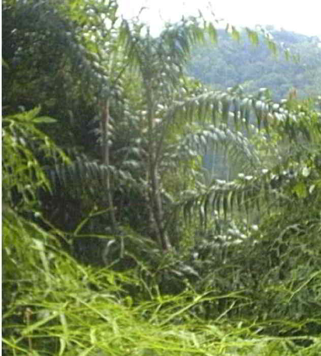 mengenal jenis jenis rotan indonesia alamendah s blog