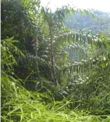 Rotan Bubuai (Plectocomia elongata)