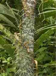 Rotan Manau (Calamus manan)