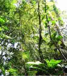 Rotan Seuti (Calamus ornatus Blume)