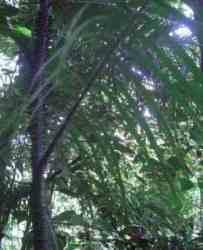 Rotan Sigisi (Calamus orthostachyus