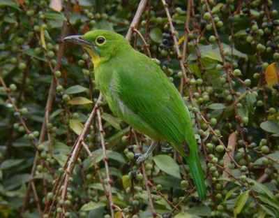 Burung Cica-daun Besar atau Cucak Hijau betina