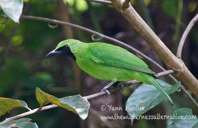 Burung Cica-daun Besar atau Cucak Hijau jantan