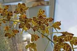 Rhumphius' Grammatophyllum (Grammatophyllum rumphianum)
