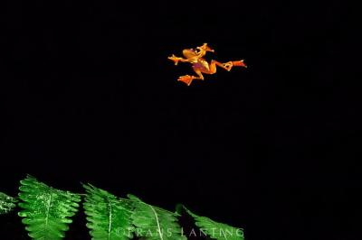 Katak Pohon Terbang (Rhacophorus pardalis)