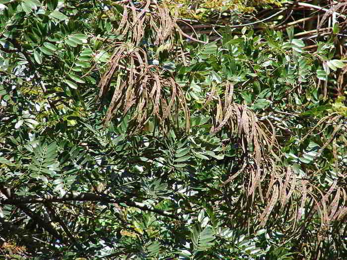 Buah Pohon Johar (Senna siamea)